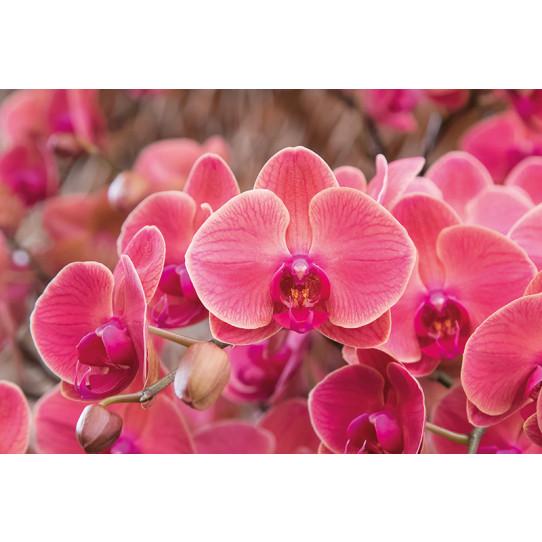 Poster - Affiche orchidées