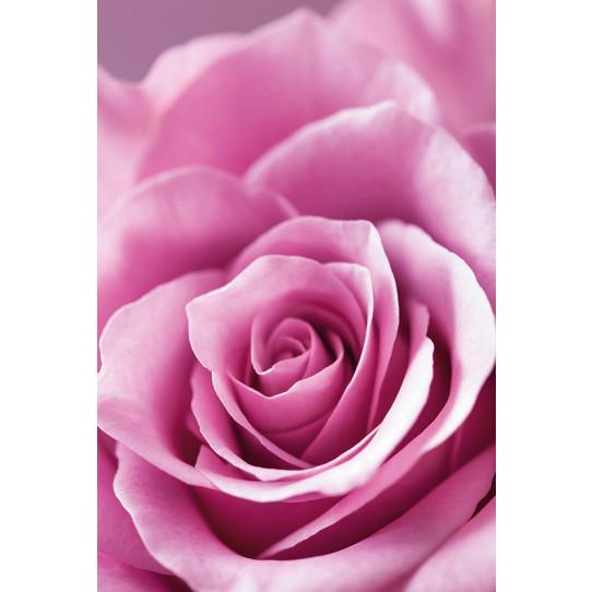 Poster - Affiche rose